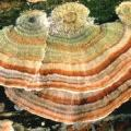 cancer turkey tail