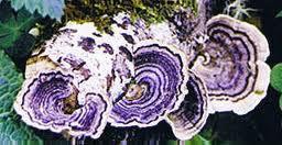 cancer treatements mushrooms